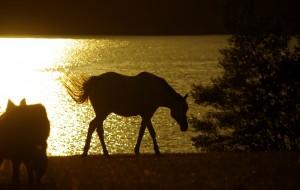 Cheval Barbe le soir au bord du lac